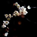 土方歳三の俳句 梅の花 一輪咲いても 梅は梅に秘められた意味とは?